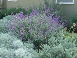 calif native plants landscaping with lavender plants native shrubs in the landscape