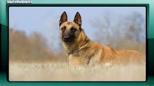 belgian sheepdog origin belgian shepherd wallpaper android apps on google play