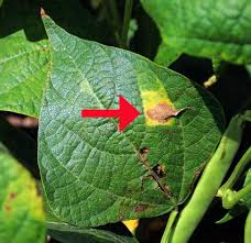 Types Of Garden Beans - signs and symptoms of plant disease is it fungal viral or