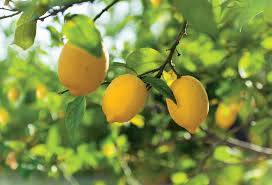 Backyard Fruit Trees Get It Growing Citrus Trees Naples Illustrated