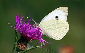 cabbage white butterfly holds secret to better solar panels