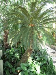 sago palms are poisonous to dogs and cats while the whole tree is