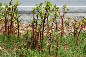 native japanese plants japanese knotweed plants an eradication strategy