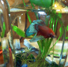 Beta Fish In Vase Betta Fish Look At The Bubbles Random Bits Of Projects
