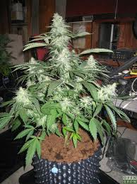 northern lights yield indoor northern lights discuss genetics opengrow
