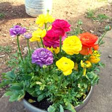 Ranunculus Ranunculus Flower Bulbs Buy 6000 Nursery Plants N Seeds Online