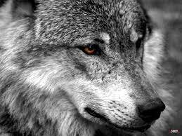 imagenes de fondo de pantalla lobos mirada de lobo wallpapers life