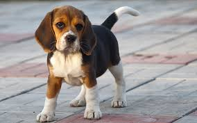 Black And Tan Beagles Beagle Dog Breed History And Some Interesting Facts