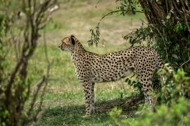 what do cheetahs eat the answer and the day i found out first hand