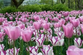 tulip bulbs item 1447 gemini ii for sale