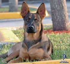 belgian sheepdog size and weight belgian malinois complete breed information and photos