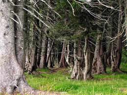 black forest trees around the feldberg the highest mounta flickr