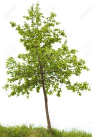 small oak tree isolated on white background stock photo picture and
