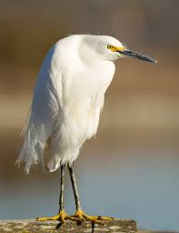 heron meaning snowy egret wikipedia