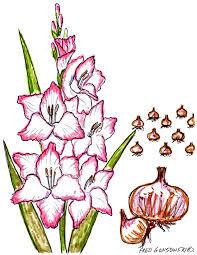 gladiolus planting fertilizing and winter storage how to make