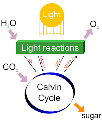 ib biology photosynthesis sl