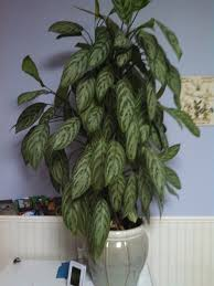 chinese evergreen house plants