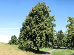 common lime tilia x europaea woodland trust