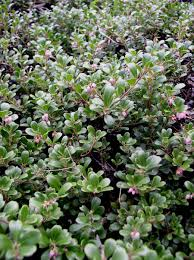 native plants names kinnickinnick arctostaphylos uva ursi blackfoot native plants