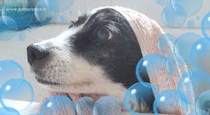 bagno per cani bagno al naturale per e pelo