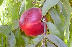 top 10 fruit trees for small spaces birds and blooms