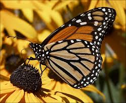 butterfly information facts and photos the wildlife