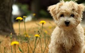 puppies live wallpaper cute puppy pictures android apps on