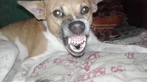 Dog Teeth Meme - dog baring teeth meme baring best of the funny meme