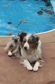 australian shepherd kid friendly aussie shepherds by west tennessee aussies in brighton tn