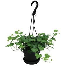 indoor flowering plants ivy indoor plants garden plants u0026 flowers the home depot