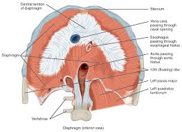 Heart Wall Anatomy 11 4 Axial Muscles Of The Abdominal Wall And Thorax Anatomy And