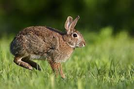 hopping bunny rabbits habits diet other facts rabbit livestock and animal