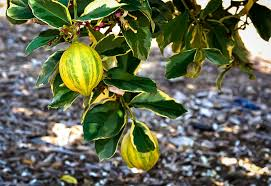 variegated pink lemon tree for sale the tree center