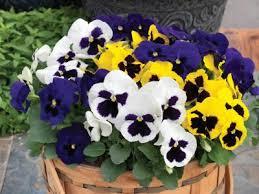 viola x wittrockiana grandio pansy from sakata ornamentals
