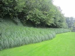 111 best ornamental grasses images on ornamental