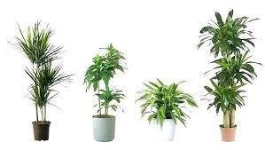 no sun plants perfect office plant phils site
