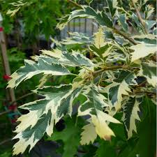 quercus cerris argenteovariegata buy variegated turkey oak trees