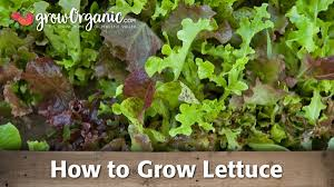 growing lettuce in the summer heat organic gardening