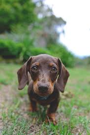 483 best dachshund images on pinterest dachshunds my passion