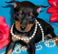 affenpinscher puppies florida puppies for sale in florida petsale inc