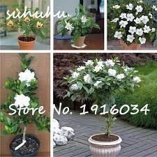 Fragrant Potted Plants - 30pcs rare bonsai tree jasmine flower seeds white jasmine seeds