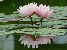 Lotus Flower In Muddy Water - 5 flowers that are important to hindus and its meaning article