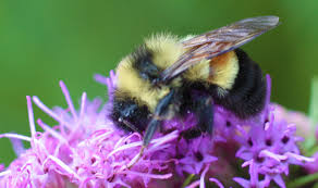 rusty patched bumble bee chicago wilderness