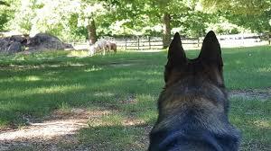 belgian shepherd herding herding two wheels four paws dog training services