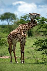 giraffe survives battle injury adapts to life with zig zag neck