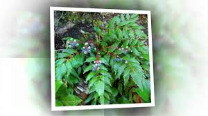 oregon native plant nursery mahonia nervosa oregon grape is a great natural landscape