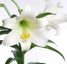 Image result for easter lily