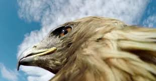 eagle armed with a gopro hunts a fox and it u0027s intense huffpost