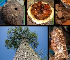 plants native to brazil brazil nut wikipedia