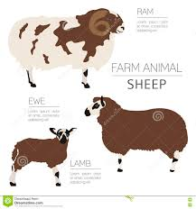 sheep farming infographic template ram ewe lamb family stock